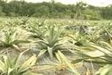 L'ananas Cayenne lisse réintroduit en Guyane