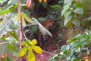 Jaguar sur la piste de Saint-Elie