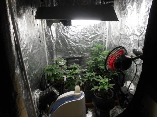 Chambre de culture cannabis