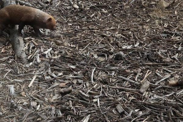 Les chiens de buissons de Guyane
