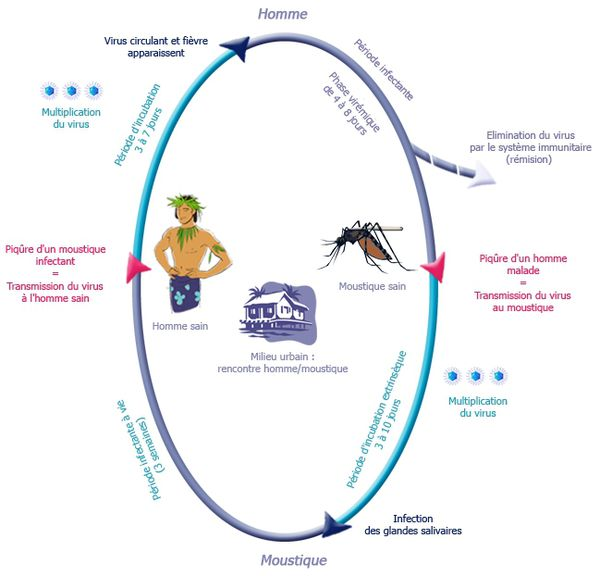 Cycle de la dengue