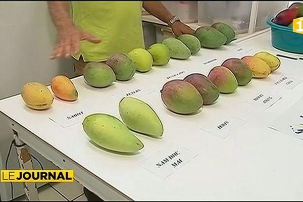 La mangue, trésor méconnu de Nouvelle Calédonie