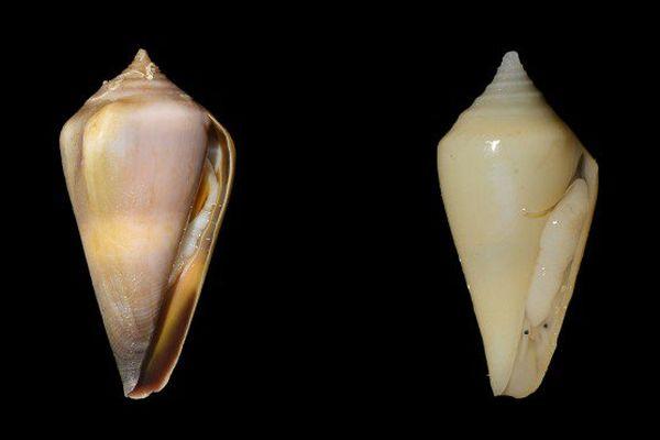 Profundiconus neocaledonius et Profundiconus kanakius