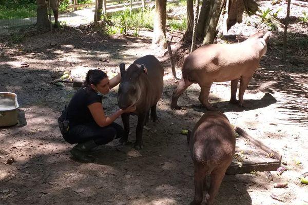 Margo Traimond, éthologue, avec les tapirs du zoo de Guyane