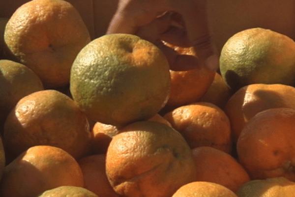 Mandarine de Canala