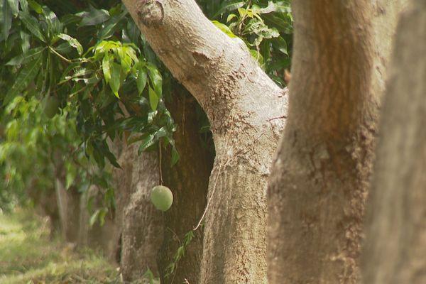 Mangue : faible production début 2019