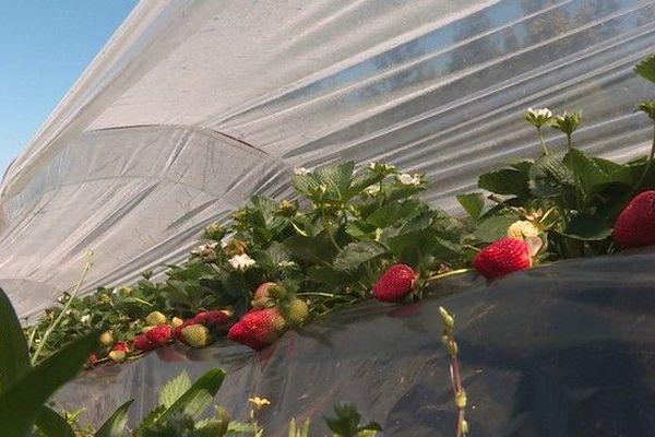 champ de fraises piton vidot 051019