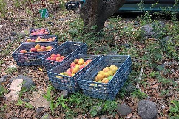 Un producteur se fait voler 500 kilos de mangues à La Possession.