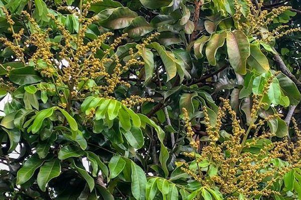 Pied de longanis en fleurs 220918