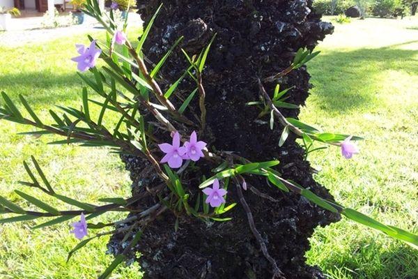 Epiphyte de Guyane