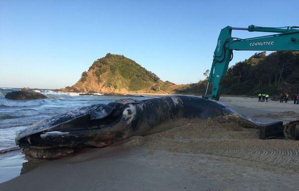 Cadavre de baleine exhumé et découpé Port Macquarie Australie 3 (25 septembre 2017)