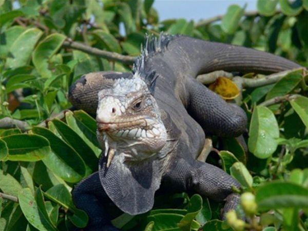 Iguane des Petites-Antilles