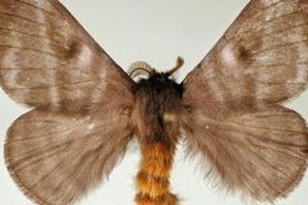 Papillon cendre