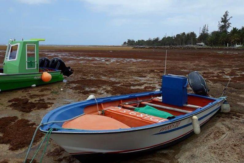 Sargasses : retour sur huit ans d'une calamité sanitaire, écologique et économique aux Antilles