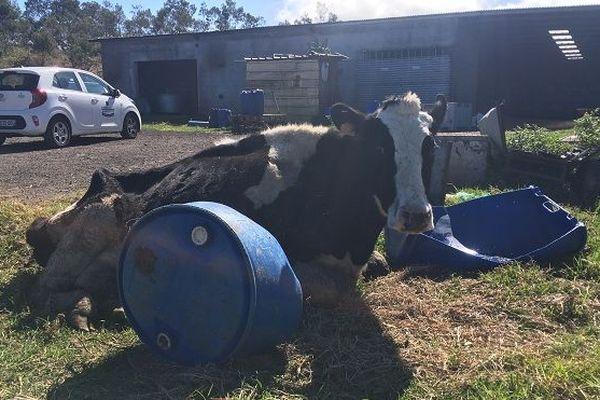 Une nouvelle vache est morte sur l'exploitation des Lauret, le 9 août, à la plaine des Cafres.