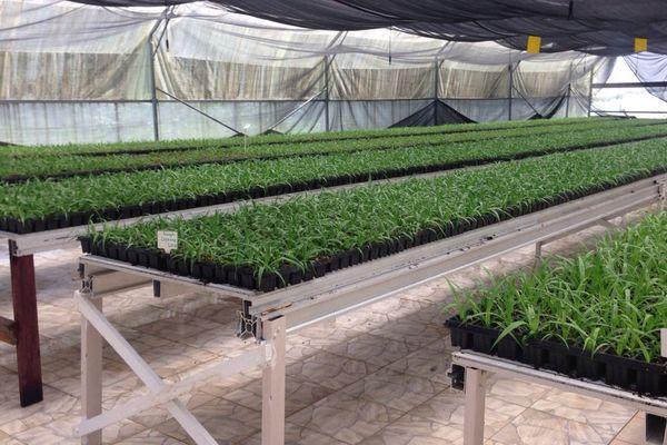 Plants d'ananas bio de l'exploitation Epailly