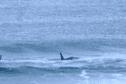 Des orques s'invitent dans une compétition de surf