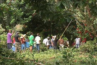 La cueillette du ramboutan