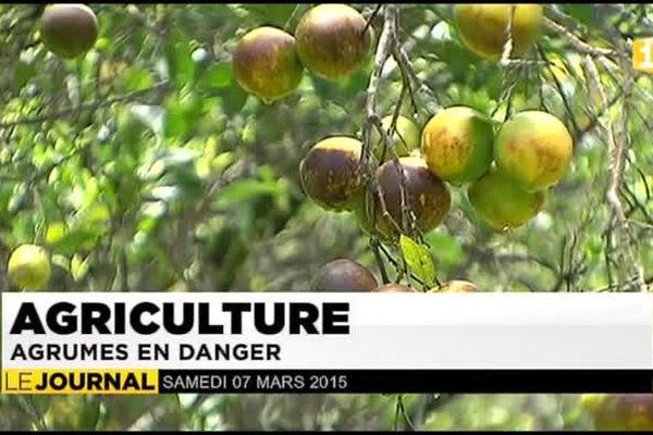 Champignon anti-myconia : un bilan désastreux pour les maraichers