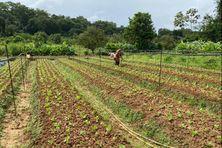 Parcelle de salades partiellement épargnée (propriétaire : famille Tho Thai)