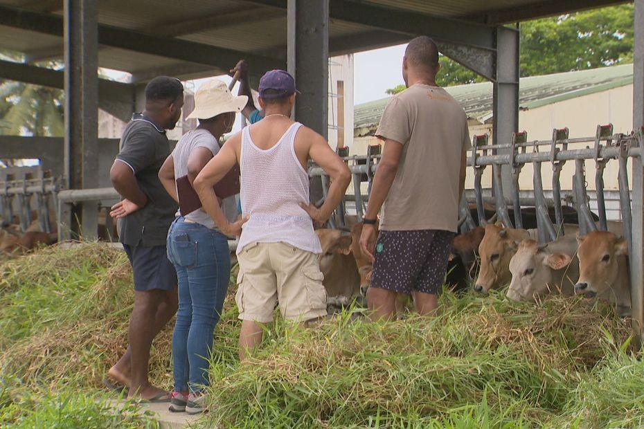 Le Département et la Région volent au secours des éleveurs de l'archipel victimes de la sécheresse - Guadeloupe la 1ère