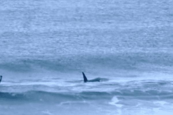 Des orques s'invitent dans une  compétition de surf.