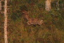 Les cerfs de Virginie font partie des espèces qui pourront être chassées en cette saison 2018.