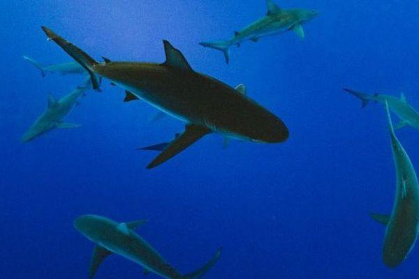 Les Samoa créent un sanctuaire pour les requins