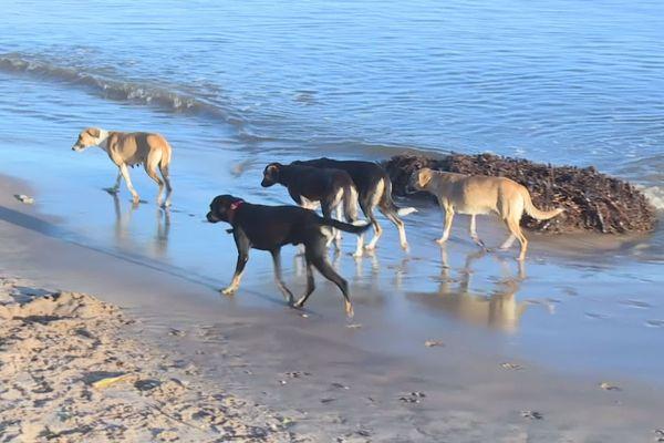 Les meutes de chiens errants sur la plage de Montjoly