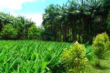 Plantation de palmistes et curcuma