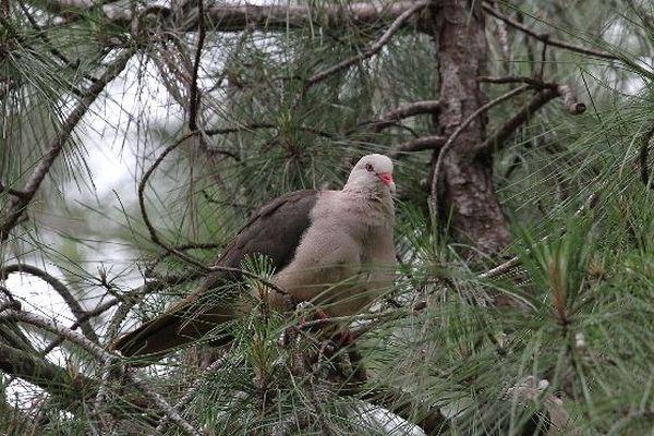 Pigeon des mares ou pigeon rose de l'île Maurice