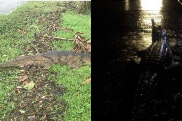 crocodiles australie inondations