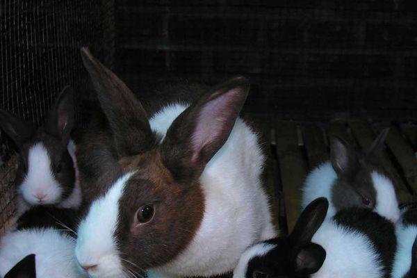 Elevage de lapins