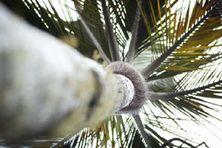 Le palmiste rouge des Hauts, espèce endémique de La Réunion.