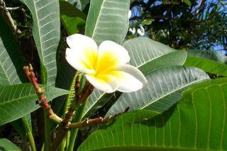 Fleur de frangipanier - libre de droits