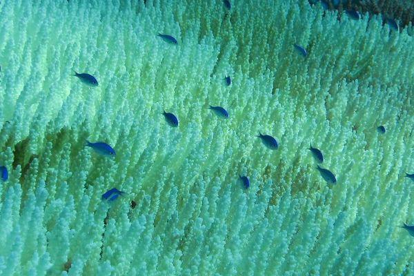 Blanchissement corail