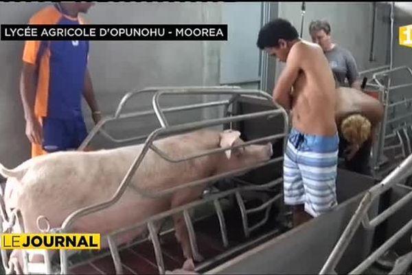 L'élevage de porcs à Moorea
