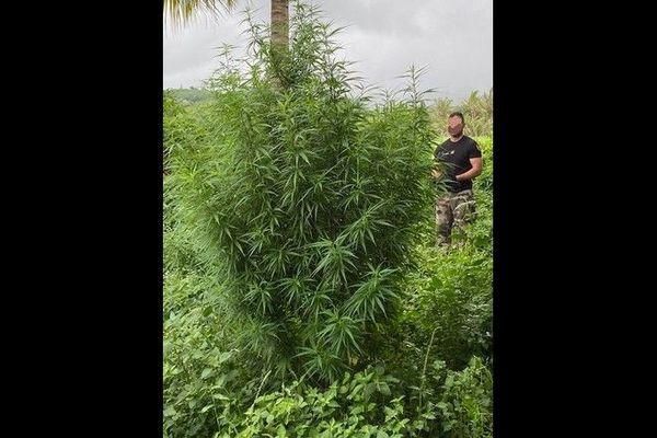 43 pieds de zamal et 24 gr d'herbes séchées saisis par les gendarmes à Sainte-Rose et Bras-Panon