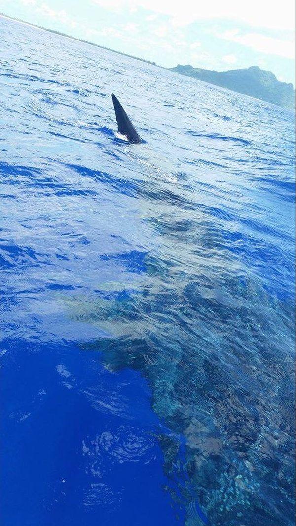 Requin Maupiti