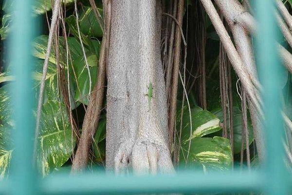 banian manapany saint-joseph gecko lézard vert 101120