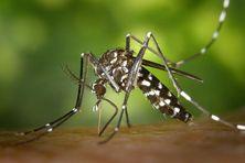 Le moustique Aedes aegypti ou moustique tigre, vecteur principal de la dengue, du zika, du chikungunya et de la fièvre jaune