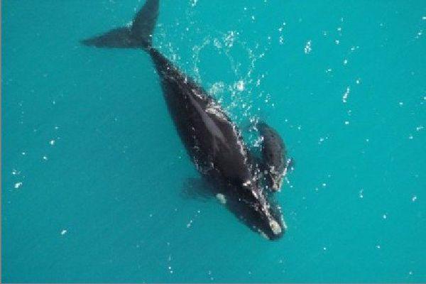 Des baleines franches australes dans la Grande Baie australienne.  : supplied / Claire Charlton