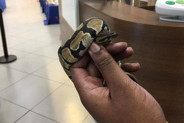 Un serpent tombe de la toiture d'un magasin