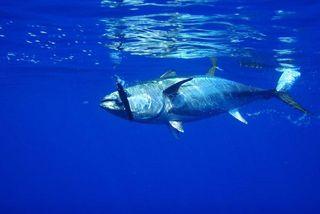 La pêche industrielle s'attaque au Pacifique