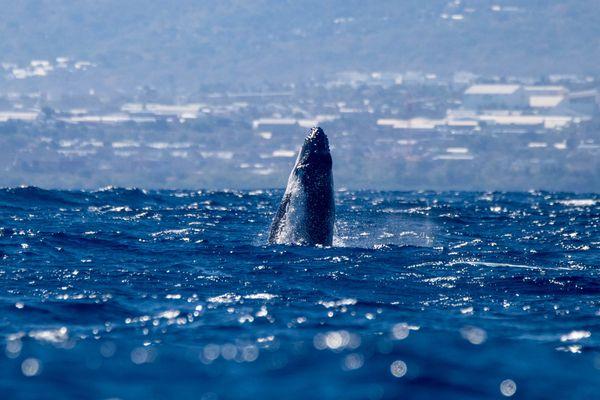 Observation de baleine à La Réunion Globice