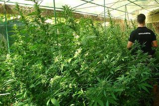 Lutte contre les cultures illicites de stupéfiants