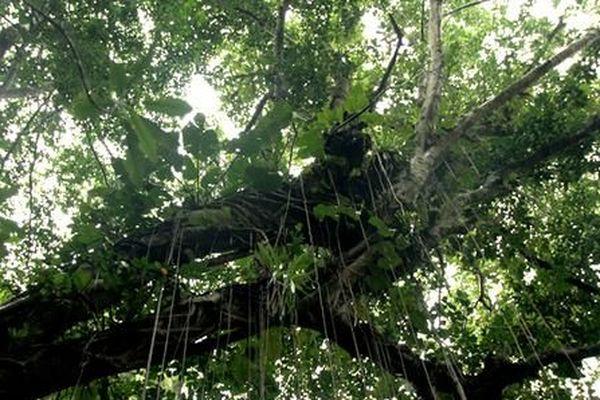 Forêt guadeloupéenne
