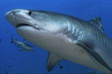 Un requin tigre au large de Tahiti, en Polynésie française