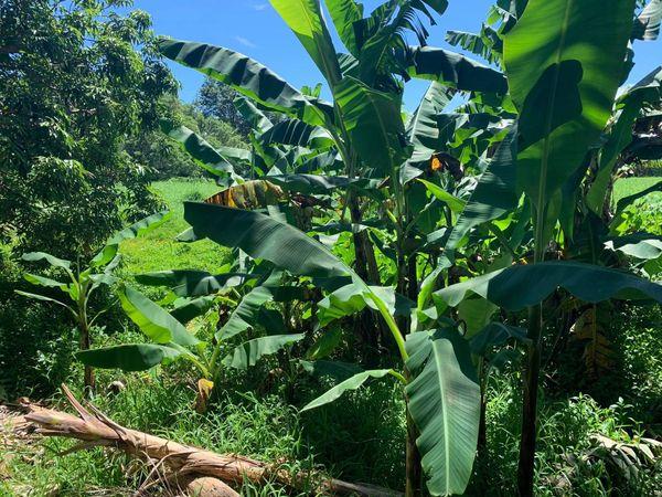 Bananiers Pouébo