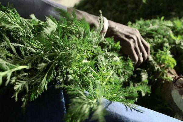 Artémisia plante produite à Mada et utilisée pour le Covid-Organics